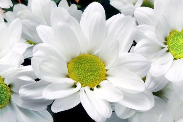 Bild mit Blumen, Blume, Pflanze, chrysanthemen, blüte, Chrysantheme, weiße Chrysantheme