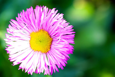 Bild mit Natur, Pflanzen, Blumen, Astern, Blume, Pflanze, Makro, blüte, ASTER