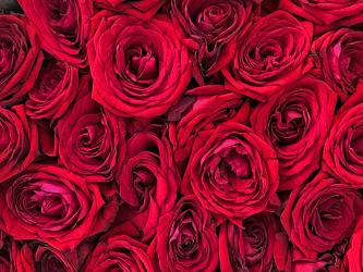 Bild mit Natur, Pflanzen, Blumen, Rosen, Blume, Pflanze, Rose, Roses, Makro, rote Rose, romantik, blüte, romantisch, Liebe, Love, Hochzeit