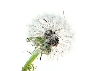 Bild mit Natur, Pflanzen, Blumen, Blume, Pflanze, Makro, Löwenzahn, Pusteblume, Pusteblumen