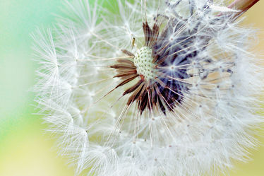Pusteblumen Bild gespiegelt