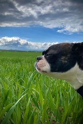 Bild mit Tiere, Hunde, Tier, Dog, Bulldogge, Boston Terrier, Bosti, Boston Terriers, Hunderasse Boston, Kleine doggenartige Hunde, Familienhund, Hundebild, Haushund, Haustier, Terrier, Rassehunde