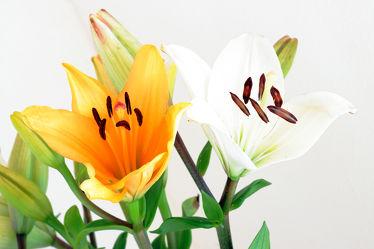 Zwei Lilien