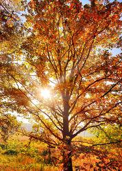 Bild mit Natur, Bäume, Herbst, Baum, Eiche, Landschaft, Laubbaum, Gegenlicht, Jahreszeit, autumn