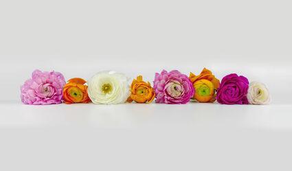 Bild mit Blumen, Blume, Pflanze, Makro, Ranunkeln, blüte, Hahnenfuß, Ranunkel, Ranunculus asiaticus