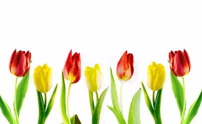 Bild mit Blumen, Blume, Tulpe, Tulips, Tulpen, Tulip, gelbe Tulpen, rote Tulpen