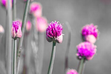 Bild mit blüte, Schnittlauch, lauch, Allium schoenophrasum, Graslauch, Binsenlauch, Brislauch, Grusenich, Jakobszwiebel, Schnittling