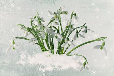 Bild mit Winter & Weihnachtszeit, Schneeglöckchen