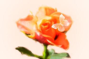 bella Rose - Aprikot
