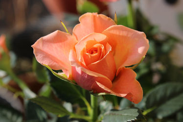 Rose im zauberhaften aprikot