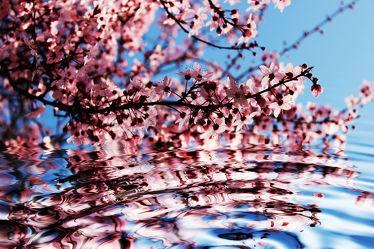 Zierkirschenblüten am Wasser
