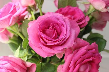 Magie der Rosen