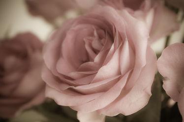 zart Rose