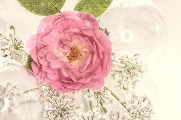 Bild mit Pflanzen,Blumen,Rosen,Blume,Pflanze,Rose,Blüten,VINTAGE