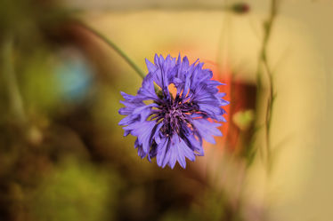 Bild mit Natur, Pflanzen, Blumen, Blume, Pflanze, Flower, Flora, Blüten, Tapete, blüte, fototapete, Kornblume