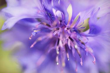 Kornblumenblüte Detail 4
