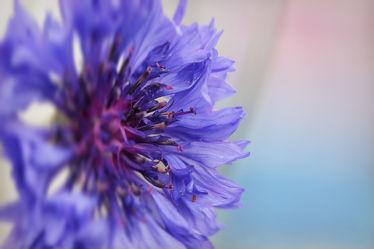 Kornblumenblüte Detail 5