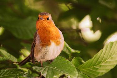 Bild mit Vögel,Federn,Gefieder,Enten und Vögel,Wildvogel,Rotkehlchen