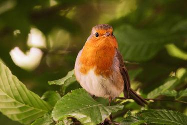 Bild mit Natur,Vögel,Vögel,Federn,Baum,DagmarGiers,Gefieder,Animal,Naturfotografie,Fotografie,Wildvogel,Rotkehlchen