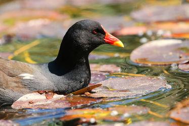Bild mit Natur, Wasser, Vögel, Tier, Schnabel, Naturfotografie, Naturfotografie, Fotografie, Enten und Vögel, Teichhuhn