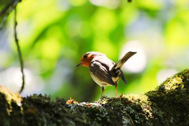 Bild mit Tiere, Natur, Vögel, Vögel, Baum, Tier, Naturfotografie, Rotkehlchen