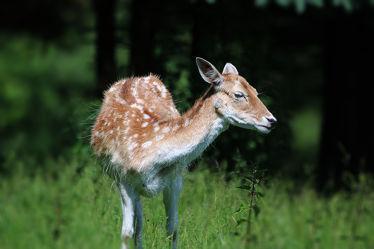 Bild mit Tiere, Natur, Tier, Animal, Tierwelt, Rehe, Reh, Damwild