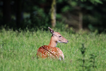 Bild mit Natur, Tier, DagmarGiers, Tierfotografie, Animal, Wildlife, Naturfotografie, Fotografie, Wildtier, Tiere Damwild