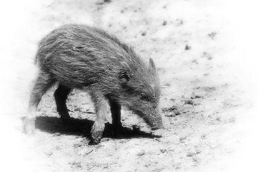 Bild mit Natur, Tier, Ferkel, Wildschwein, DagmarGiers, Animal, Tierwelt, Wildlife, Naturfotografie, Fotografie, Wildschweine, Frischling, Wildtier, schwarz weiß