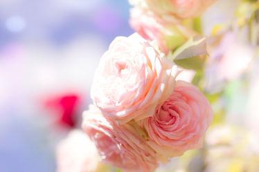 Bild mit Pflanzen, Blumen, Rosen, Blume, Pflanze, Rose, Flower, Flowers, Gartenrosen, DagmarGiers, Dagmarmarina