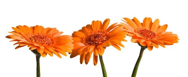 Bild mit Blumen, Gerberas, Blume, Gerbera, Wassertropfen, Wasserperlen, Tropfen, Blüten, blüte