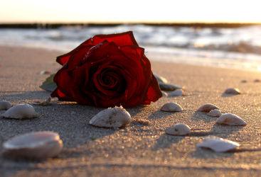 Bild mit Blumen, Strände, Sand, Sonnenuntergang, Urlaub, Rosen, Strand, Sandstrand, Meerblick, Meer, Blume, Rose, romantik, Muschel, Muscheln, Abend, romantisch, Liebe