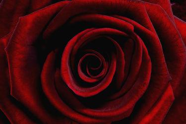 Bild mit Blumen, Rosen, Blume, Rose, Makro, romantik, Blüten, blüte, Liebe