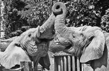 Bild mit Tiere, Tier, Elefant, Elefanten, Afrika, Tierwelt, schwarz weiß, Liebe, SW