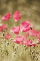 Rosa Mohn Blumenbild