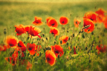 Sommer Mohnblumen Felder Art