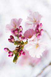 Mandelblüten Art