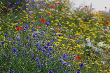Kornblumen Sommerwiese