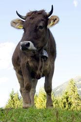 Kuh Bilder, von oben Herab