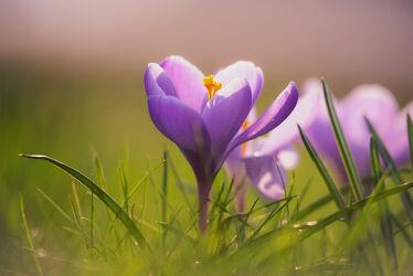 Frühlingsblüten Krokusse