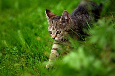 Kleine Katze auf der Jagd