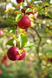 Bild mit Natur, Bäume, Früchte, Lebensmittel, Baum, Frucht, Apfelbaum, Obst, Küchenbild, Apfel, Apfel, Apple, Kirsche, Stillleben, Food, Küchenbilder, KITCHEN, Küche, apples