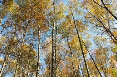 Bild mit Natur, Landschaften, Bäume, Wälder, Birken, Wald, Baum, Birke, Nature, Spaziergang, home, Naturbilder