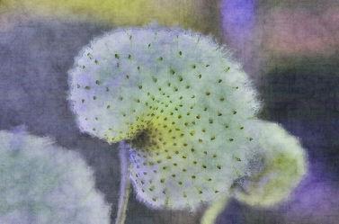 Anemonen seeds