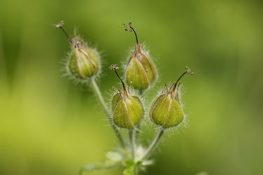 Columbine seeds