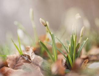 Bild mit Natur, Schneeglöckchen