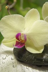 Orchidee und Steine