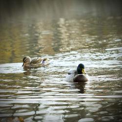 Entenpärchen auf dem See