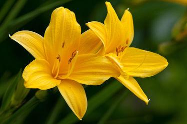 Bild mit Gelb, Pflanzen, Blumen, Blume, Pflanze, Lilie, Lilien, Blüten, blüte