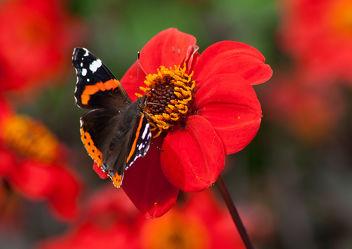 Bild mit Pflanzen, Blumen, Insekten, Dahlien, Schmetterlinge, Blume, Pflanze, Blüten, Schmetterling, blüte, Insekt, Dahlie