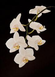 weiÃ?e Orchideen 2